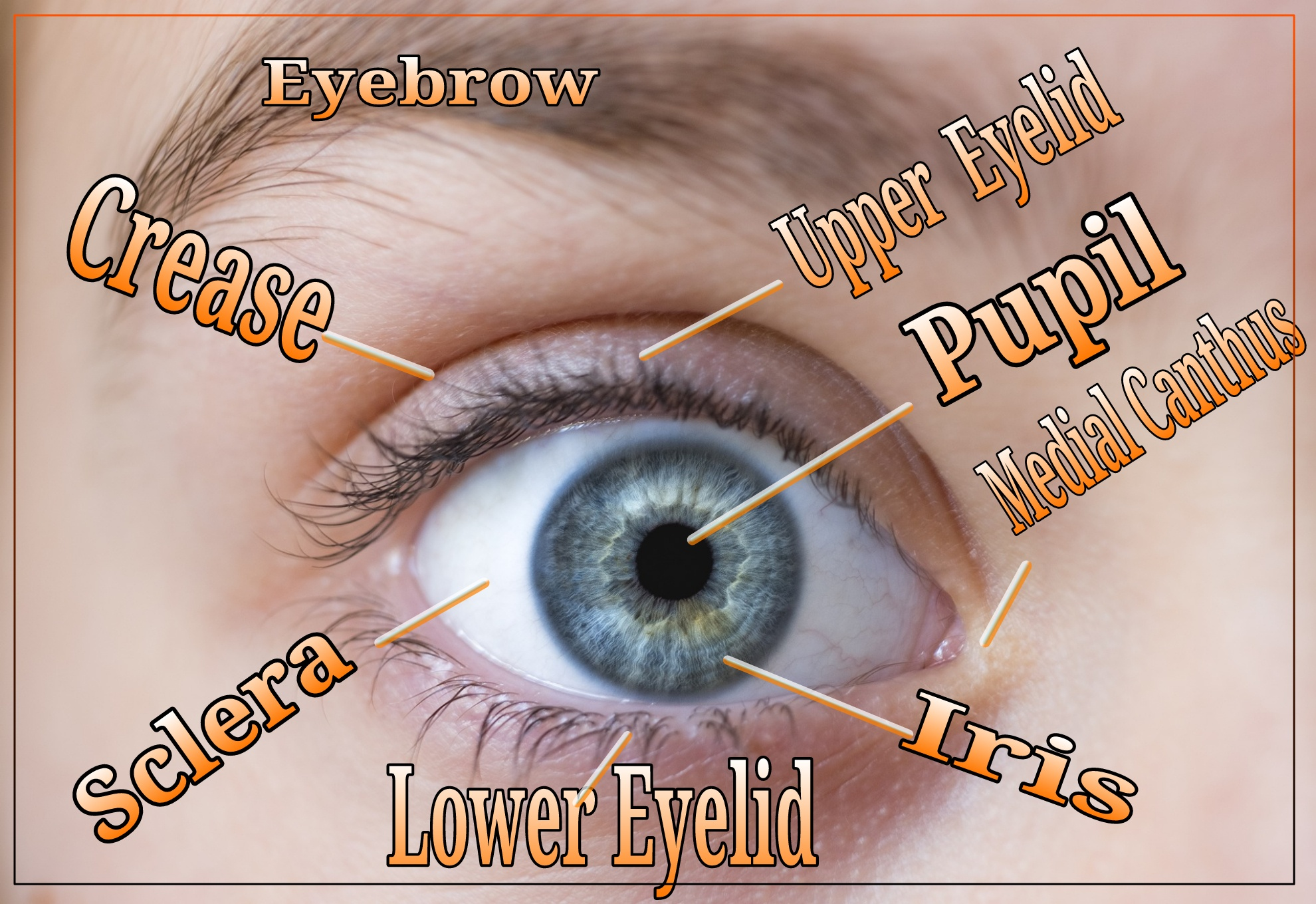 Anatomy of The Hhuman Eyes For Artist